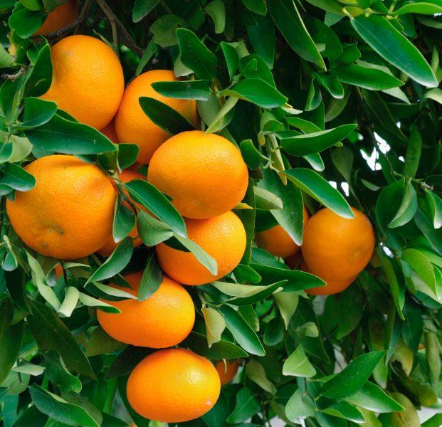 mandarin owari