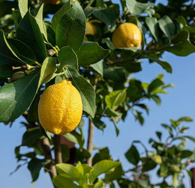 Improved-Meyer-lemon-semi-dwarf