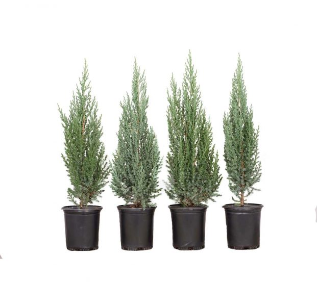potted four pack of junipers blue point, uniform-growing dwarf conical selection of Chinese juniper with dense branching holding prickly blue-gray foliage
