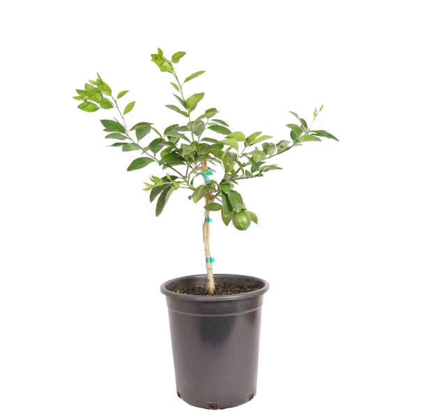 single potted Bearrs lime dwarf, strong lime, more cold-hardy than other limes