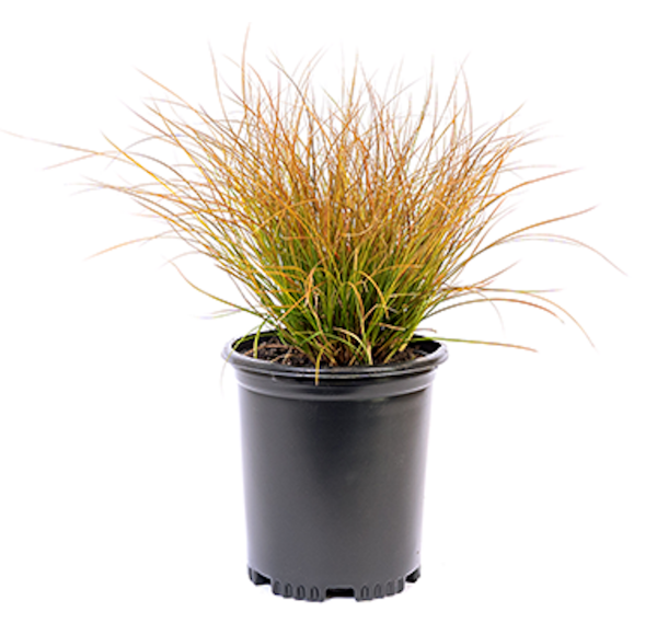 Orange sedge ornamental grass with orangeish colored leaves in a black nursery container