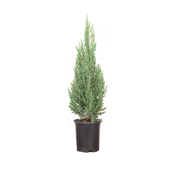 a single potted junipers blue point, uniform-growing dwarf conical selection of Chinese juniper with dense branching holding prickly blue-gray foliage