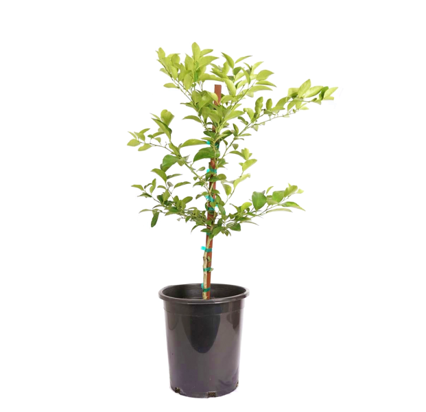 a single potted Mexican key lime semi dwarf, the traditional pungently flavored lime is preferred for Key Lime pie and margaritas