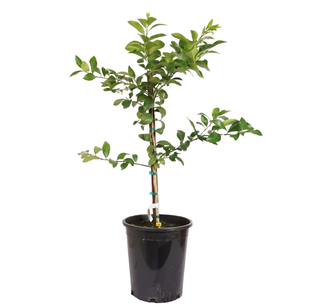 single potted Improved Lemon Meyer Semi Dwarf, a favorite among home gardeners and home cooks as it brings in the taste of tropic within their reach