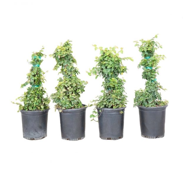 a four pack of potted ficus trees offered by Alder and Oak