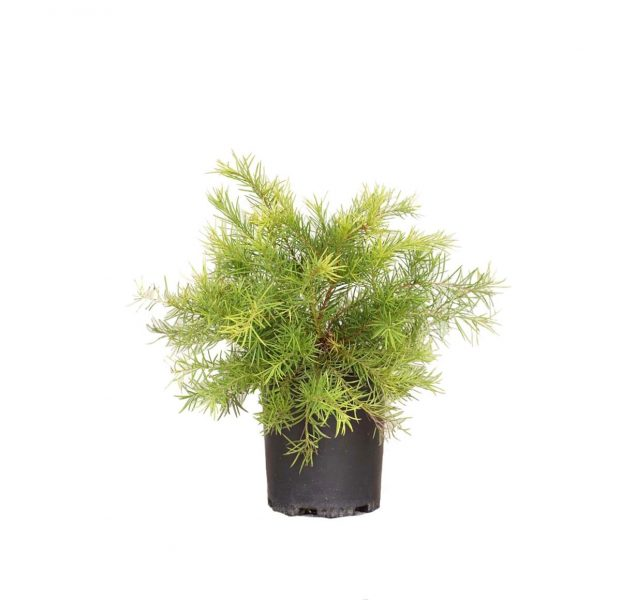 Grevillea Noellii plant in a black nursery container