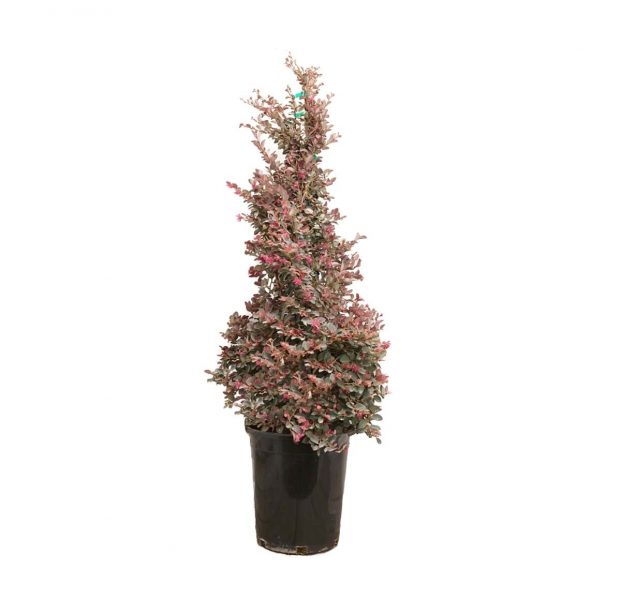a potted Chinese fringe flower, a compact evergreen shrub