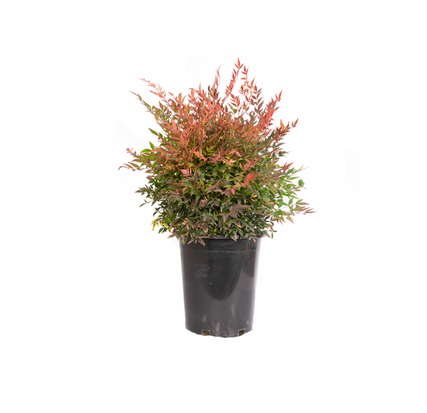 Nandina gulfstream with green leaves and redish new growth in a black nursery container