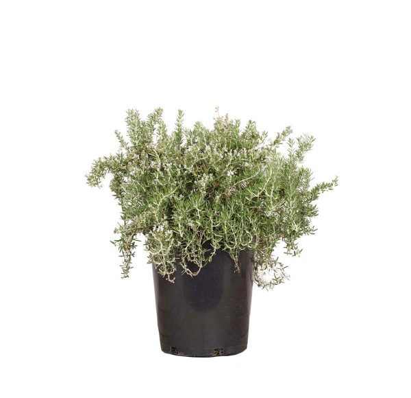 a single potted creeping rosemary, best grown in full sun where it will bloom an abundance of blue flowers in spring and early summer