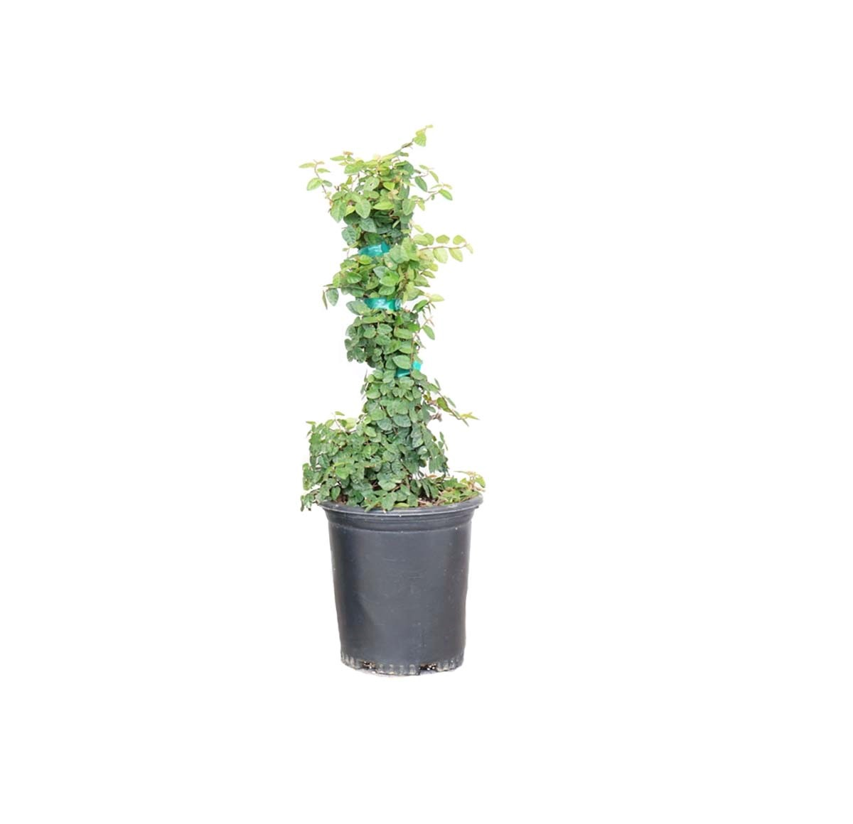 single potted ficus offered by alder and oak