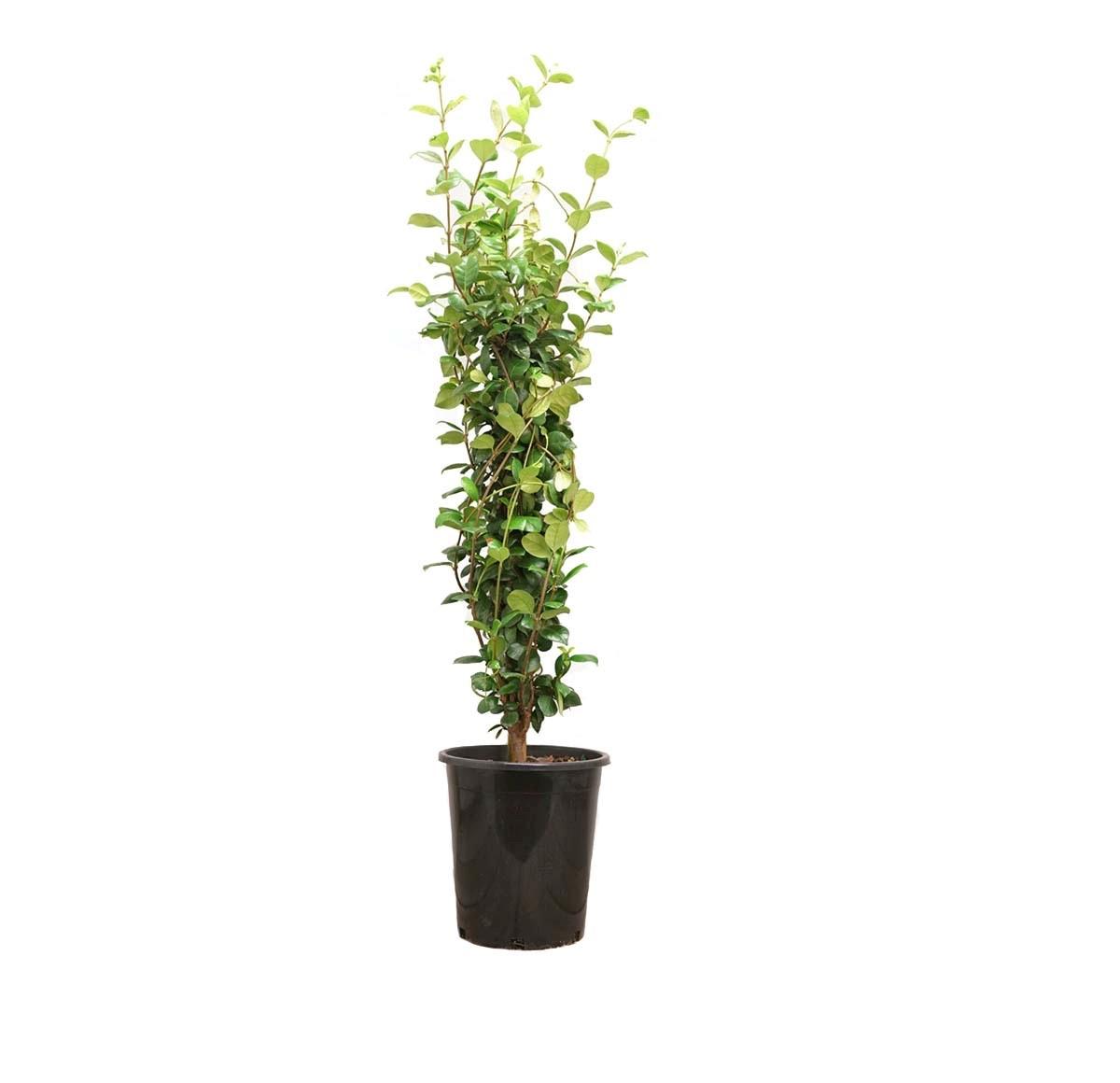 a single potted star jasmine staked, semi-tropical evergreen shrub