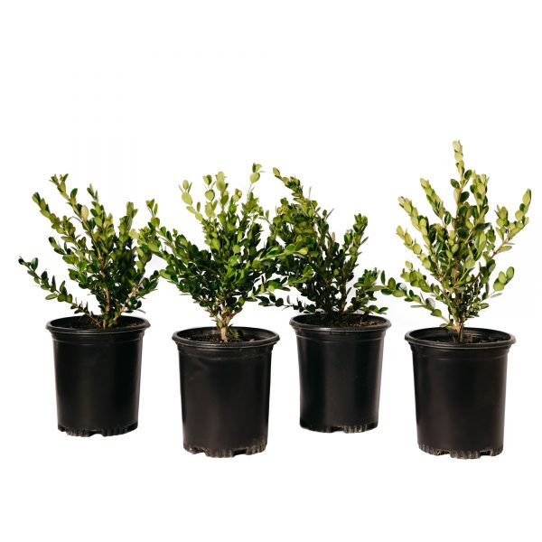 Four Buxus 'Green Beauty' ready to be shipped image.