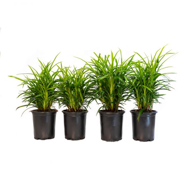 a four pack of little Becca flax Lilly, will grow up to two feet tall with medium green strap like leaves