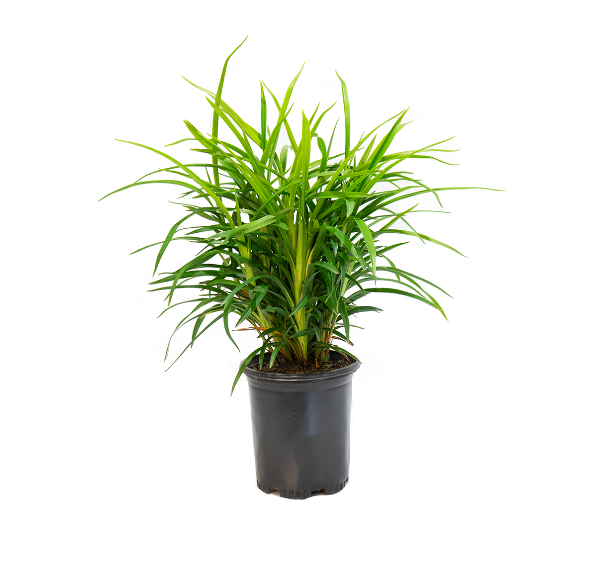 a single potted little Becca flax Lilly, will grow up to two feet tall with medium green strap like leaves