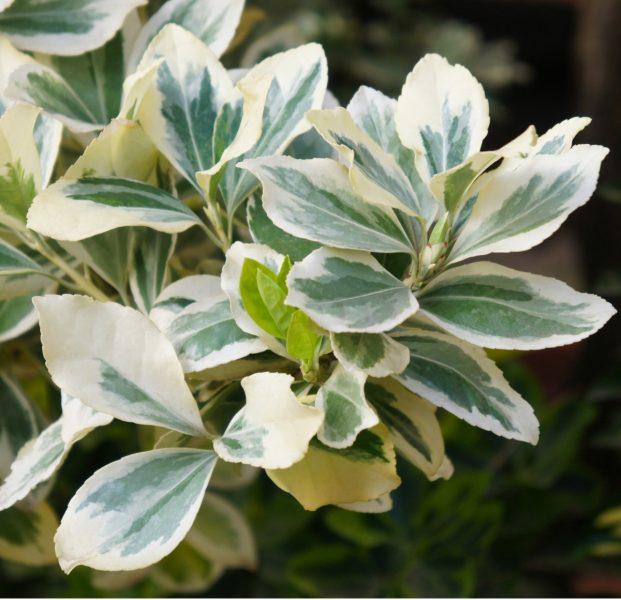 Euonymus-silver-queen