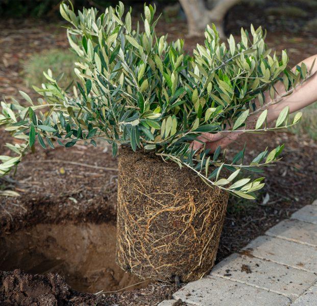 Olea-petite-olive-shrub