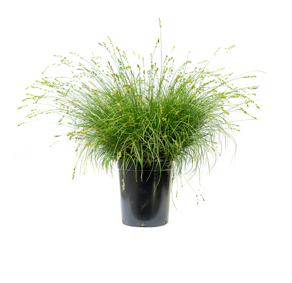 a single potted Berkeley sedge, a hardy perennial grass-like plant that is highly adaptable