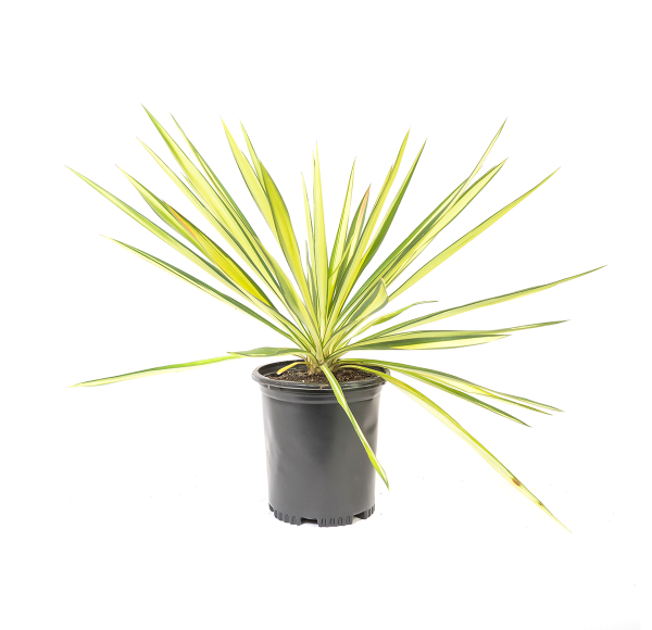 Color Guard Yucca with green and yellow sword like leaves, very sharp