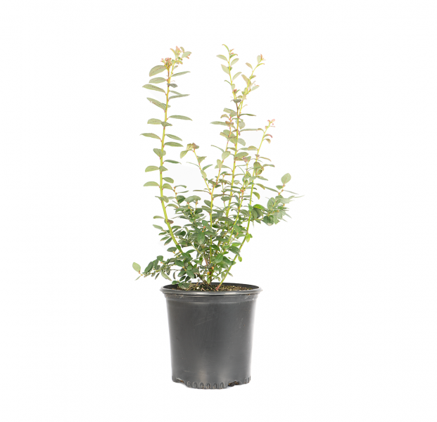 a single potted misty blueberry, Misty' is one of the most attractive, vigorous, and high yielding Southern Highbush varieties; making it an excellent choice for southern climates