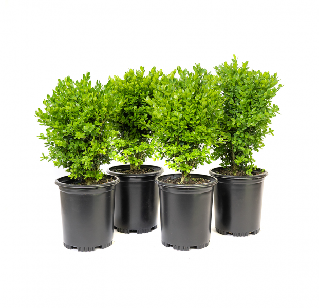 a potted four back of dwarf English boxwood, is has been the most extensively planted boxwood in the United States over the past century