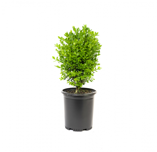 Dwarf English Boxwood in a black nursery container