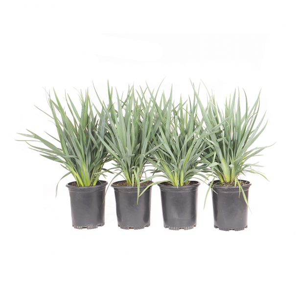 four pack of blue flax lily, a single potted blue flax Lily, a grass look alike
