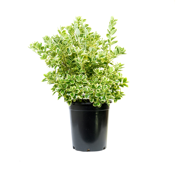 single potted euonymus silver queen has glossy green leaves with cream to silver margins and won't fade in the sun