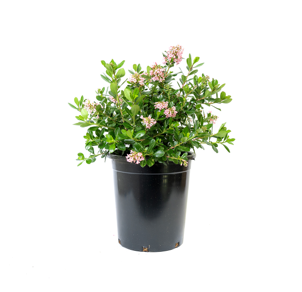 a single potted pink princess escalonia, dense and fast growing, can be used as a foundation, hedge or screening plant