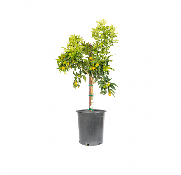 single potted nagami kumquat, mall tree loads its dense branches with bright orange colors and is a tart tasting fruit