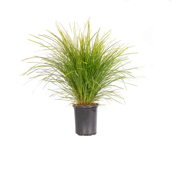 a single dwarf mat rush, an evergreen perennial with narrow deep green strap-shaped leaves
