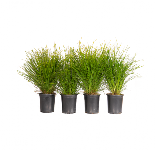 a four pack of potted dwarf mat rush, an evergreen perennial with narrow deep green strap-shaped leaves