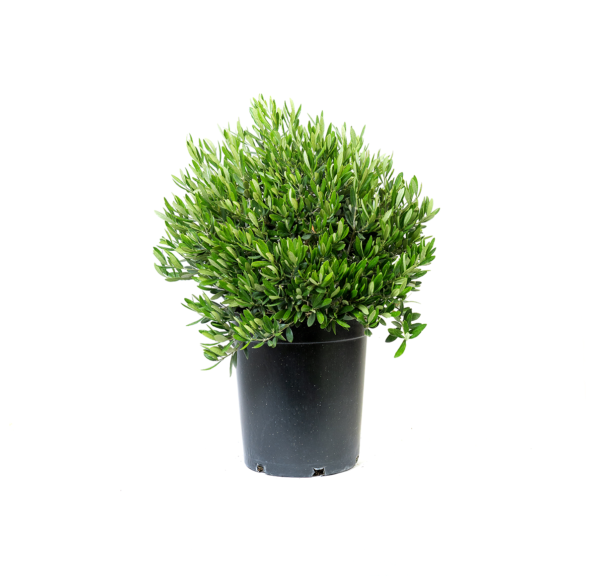 dwarf olive shrub in a black nursery container