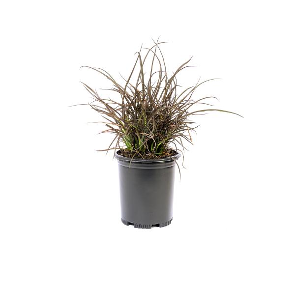 New Zealand flax jack Spratt plant in a black nursery container