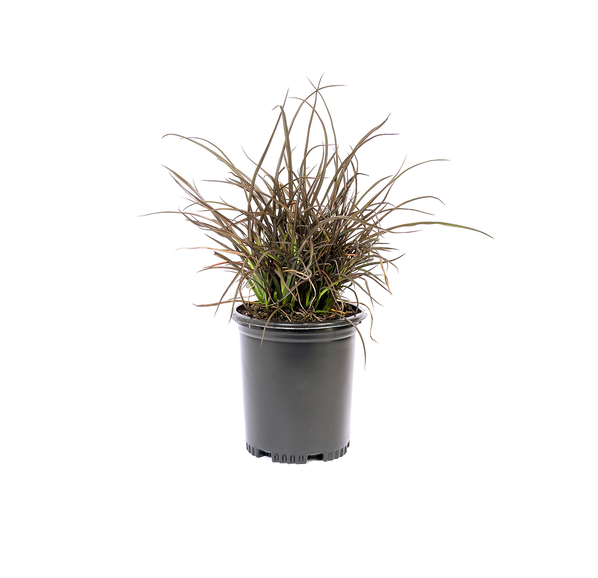 single potted New Zealand flax jack Spratt,an excellent dwarf variety that rapidly forms a dense low clump with many small fans and bronze/brown leaves