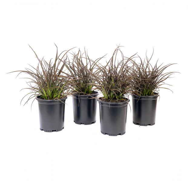 four potted New Zealand flax jack Spratt,an excellent dwarf variety that rapidly forms a dense low clump with many small fans and bronze/brown leaves