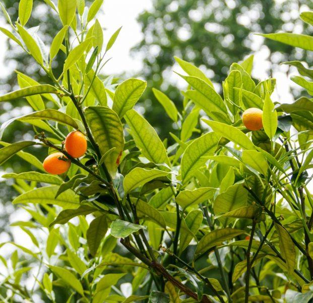 Kumquat-fortunella-margarita-nagami