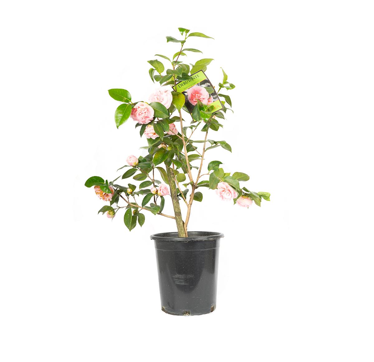 Debutante Camellia in a black nursery container