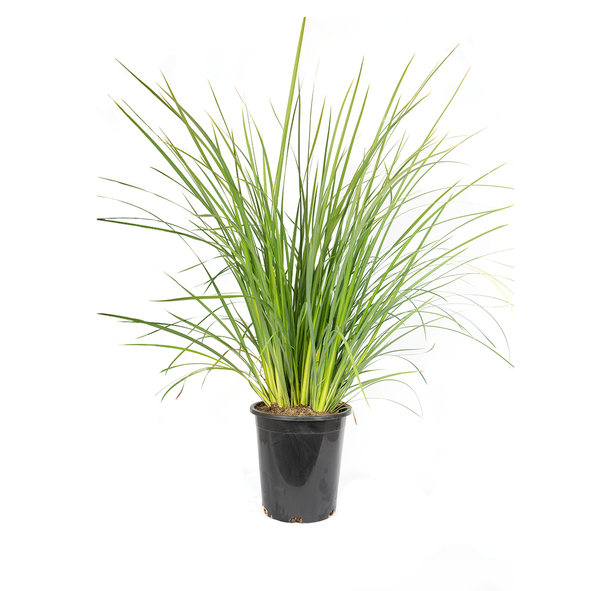 single potted African iris has gorgeous white flowers with yellow and purple-blue marking