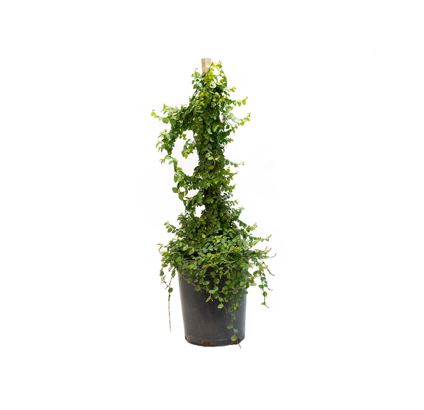 a five gallon creeping fig, popular ground and wall cover in warmer parts of the country and a lovely houseplant in cooler areas