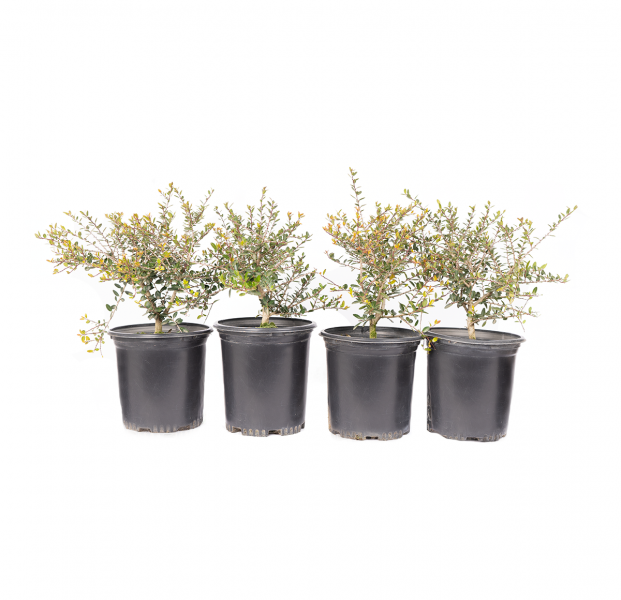four pack of dwarf tampon holly makes a great groundcover, rock garden shrub or for use as edging