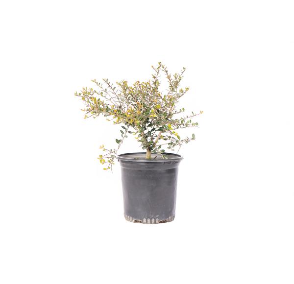 Dwarf Yaupon Holly shrub in a black nursery container