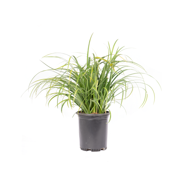 a potted Liriope turf, which is often called lilyturf or blue lily turf, is a tufted, tuberous-rooted, grass-like perennial