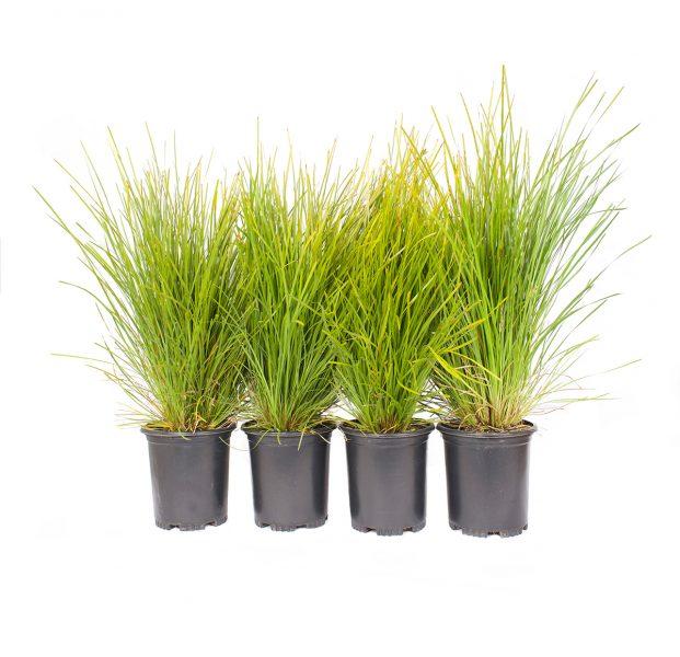 four pack of Lime Tuff Mat Rush, an evergreen perennial