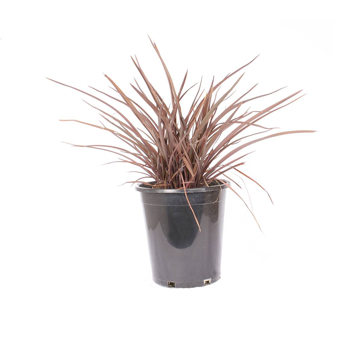 Phormium jack Spratt has red sword like leaves pictured in a black nursery container