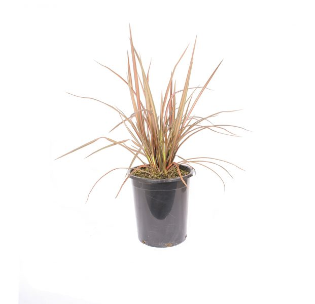 Phormium pink panther is a flax has a slightly arching form and grows to 3 to 4 feet tall with leaves of candy pink centers with darker red and bronze ends