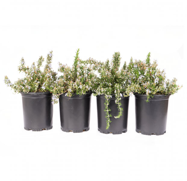 four pack of Huntington Carpet Rosemary has a blanket of deep blue flowers backed by green, needle-like foliage that forms an attractive spreading groundcover