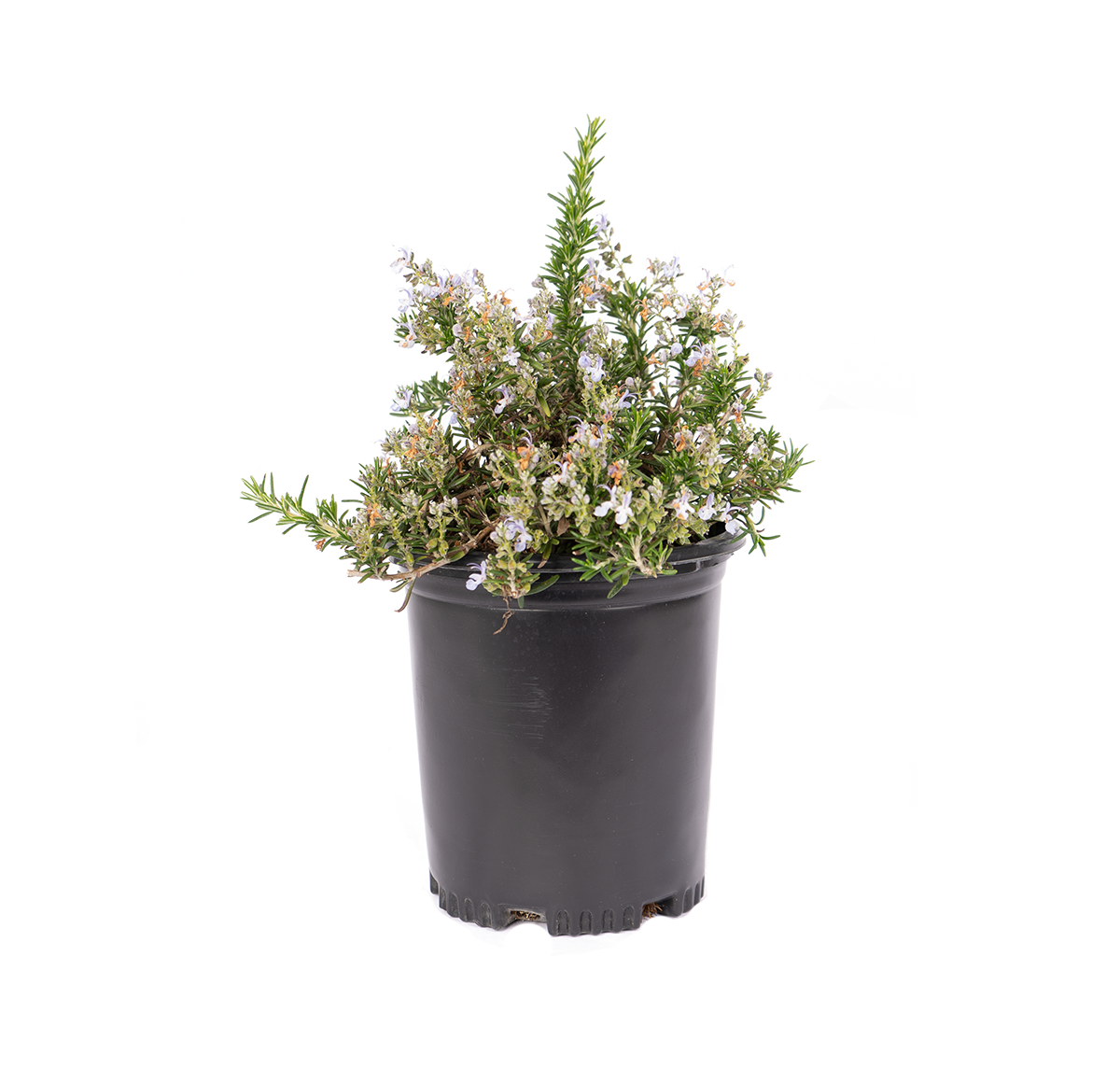 a single plant, Huntington Carpet Rosemary which has a blanket of deep blue flowers backed by green, needle-like foliage that forms an attractive spreading groundcover