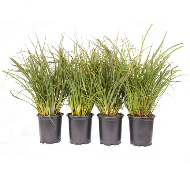 4 pack of phormium Tom Thumb plants a green flax that grows to two feet tall