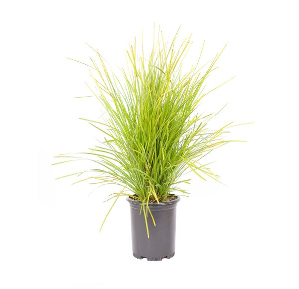 single potted plant of Lime Tuff Mat Rush, an evergreen perennial