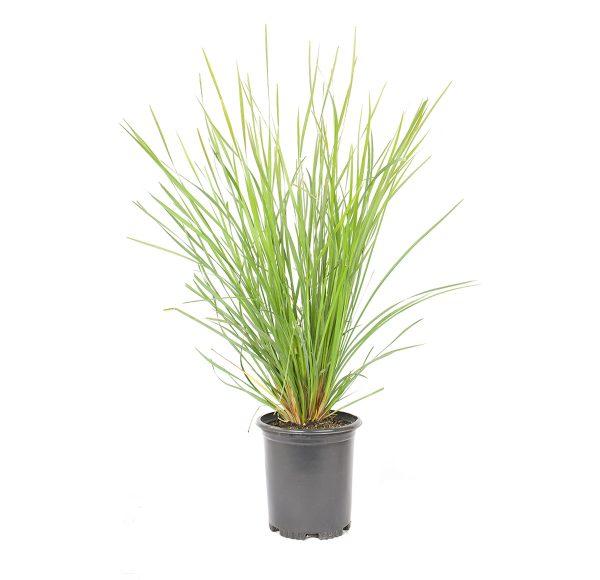 the nyalla dwarf mat rush is an evergreen grass-like perennial